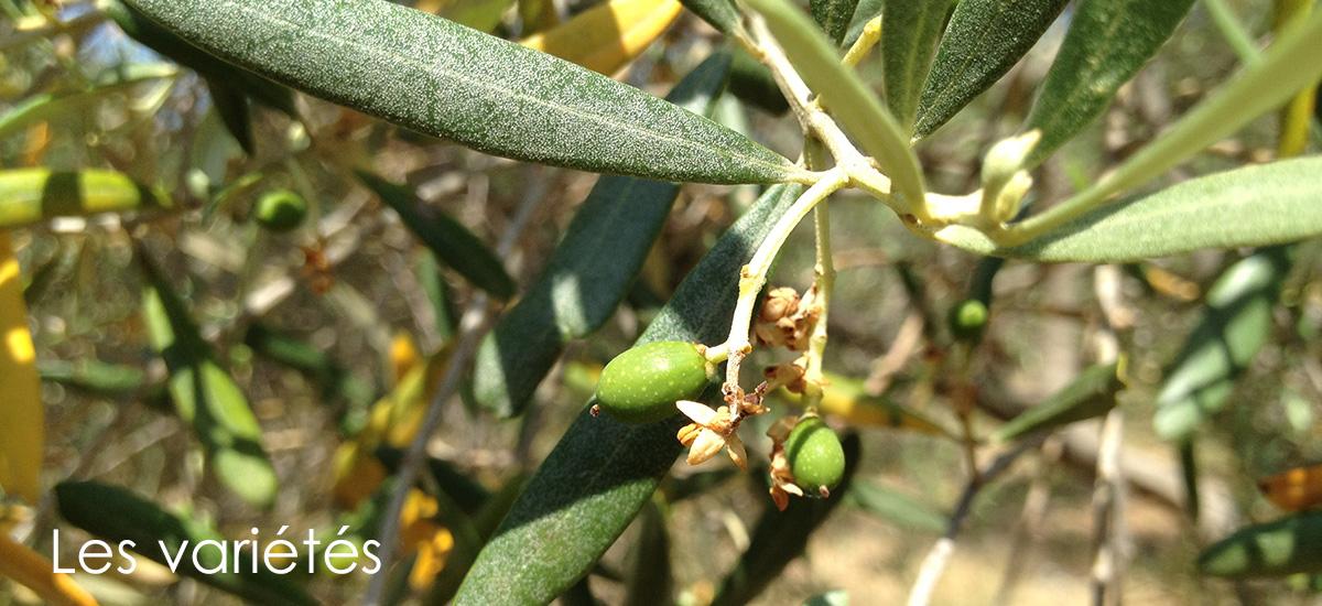 Les variétés d'Olives