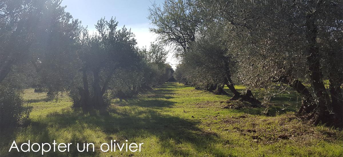 adopter-un-olivier